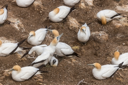 hatched: gannets protecting  newly hatched chick