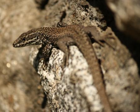 animal viviparous: detail of common lizard