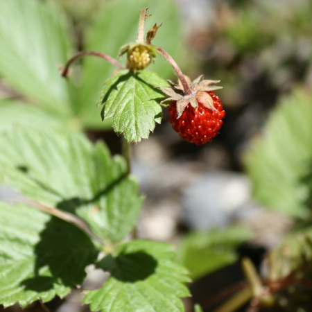 wild strawberry: detail of wild strawberry