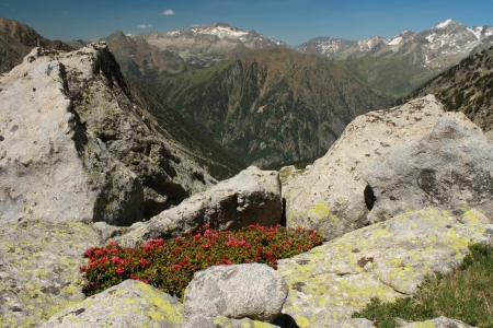 rhododendron ferrugineum in Aragon Pyrenees photo