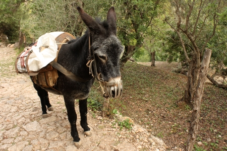 donkey with heavy cargo in olive orchard photo