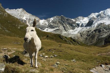 burro: white burro in Swiss Alps