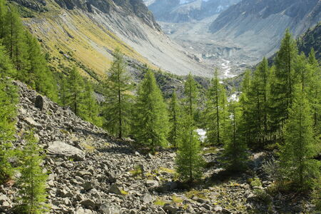 european larches in valley in Switzerland photo