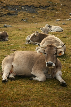 herd of brown cows resting on alpine meadow