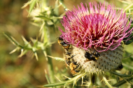 Common Thistle with Bumble bees  photo