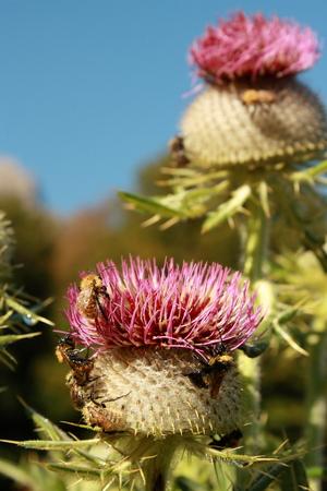 Swarm of Bumblebees on Milk Thistle photo