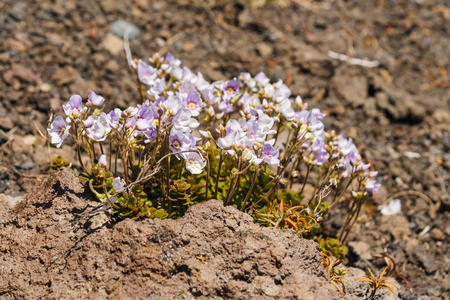adaptable: cluster of pink flowers growing on volcanic rocks Stock Photo