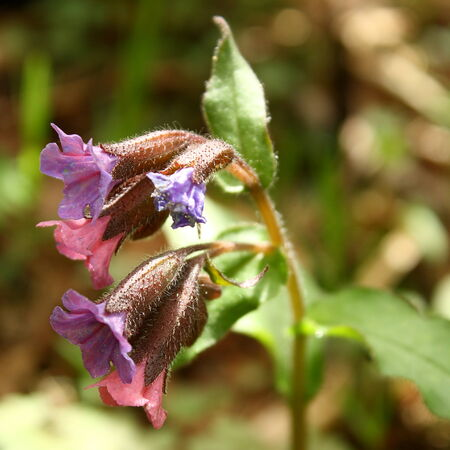 detail of common lungwort photo