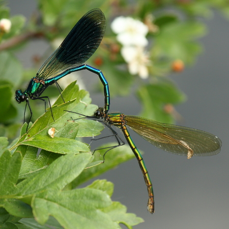 zygoptera: mating dragonflies Stock Photo