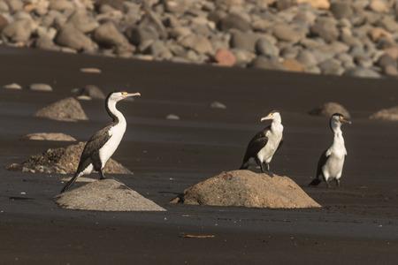 basking: basking cormorants