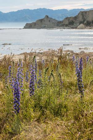 kaikoura: blueweed growing on Kaikoura coast in New Zealand