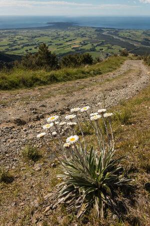 kaikoura: cluster of mountain daisies growing on slope above Kaikoura Peninsula Stock Photo