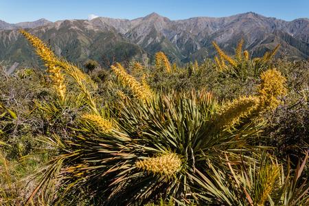 kaikoura: speargrass growing on slopes of Kaikoura Ranges