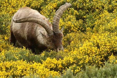ibex ram: grazing Spanish Ibex  Stock Photo