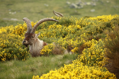 ibex buck grazin on yellow broom photo