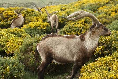 herd of spanish ibex grazing on yellow broom photo