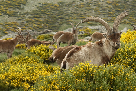 wild goats grazing on yellow broom photo