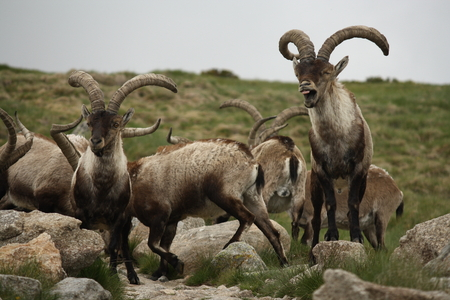 herd of Spanish ibex bucks Stock Photo