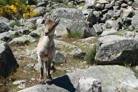 ibex ram: chamois in Spanish Pyrenees