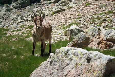 chamois in Spanish Pyrenees photo