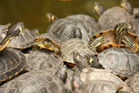 eared: Red eared slider turtles Stock Photo