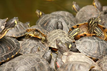 Red tortugas de orejas deslizante