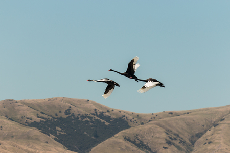 three black swans flying over hills photo