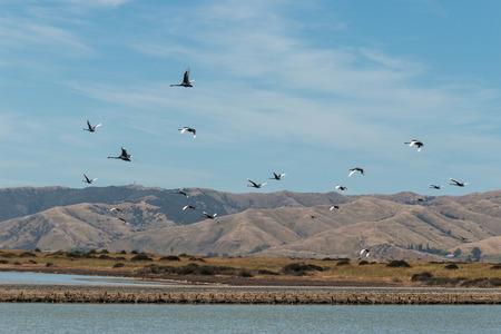 flock of black swans in flight photo