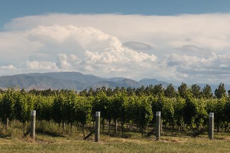 ニュージーランド ブレナム周辺のブドウ畑 写真素材