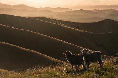 バックライト付きの羊の放牧ウィザー ・ ヒルズで