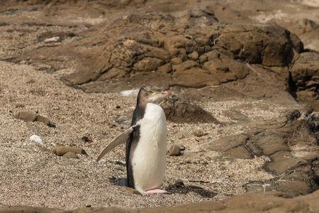 yellow eyed penguin: yellow-eyed penguin