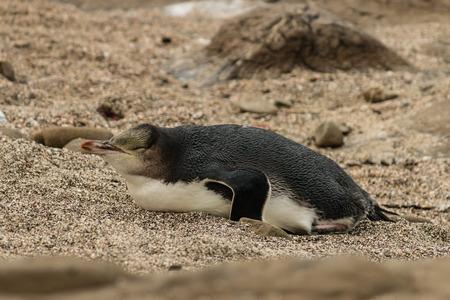 penguin resting on beach photo
