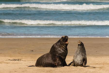 hooker: Hooker s sea lions in courtship
