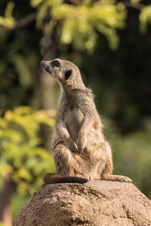 curious meerkat photo