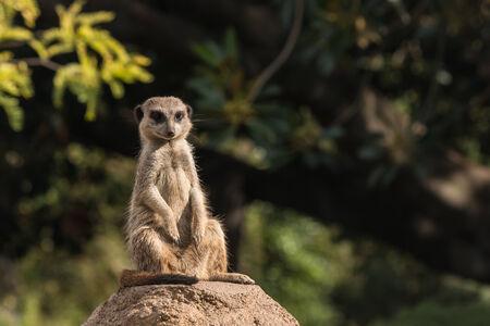 basking: basking meerkat