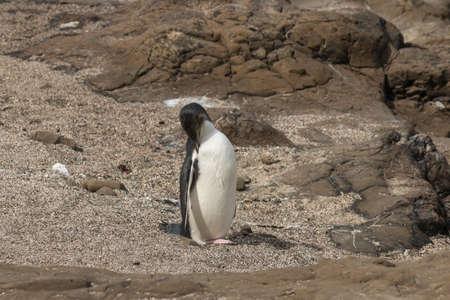 yellow eyed penguin: grooming yellow eyed penguin