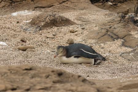 yellow eyed penguin: yellow eyed penguing  lying on beach Stock Photo