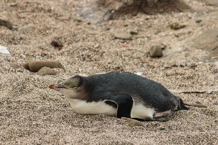 sleeping yellow eyed penguin photo