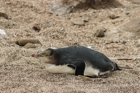 yellow eyed penguin: sleeping yellow eyed penguin