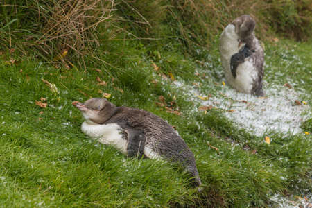 yellow eyed penguin: moulting penguins