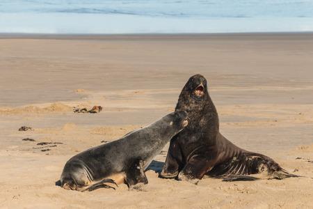 hooker: courting Hooker s sea lions