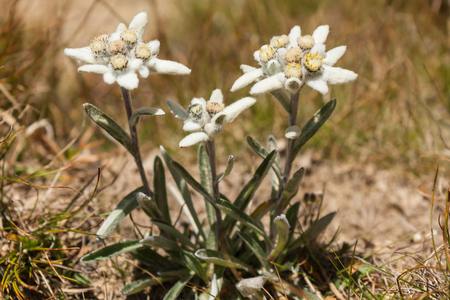 cluster of Edelweiss flowers Stock Photo