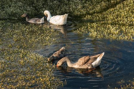 plantas acuaticas: gansos dom�sticos con gansos se alimentan de las plantas de agua