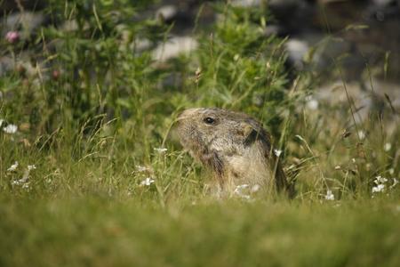 burrow: marmot peeking out of his burrow