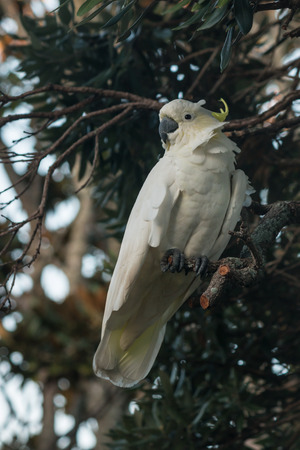 yellow-crested  Cockatoo sitting on tree photo
