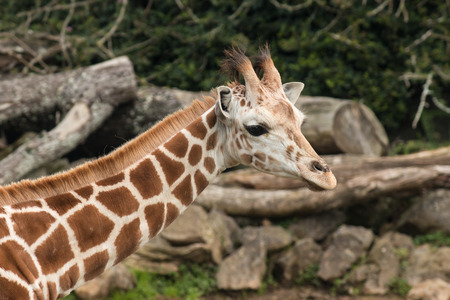 horn like: detail of giraffe s neck with head
