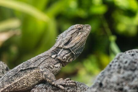 detail of Tuatara lizard 스톡 콘텐츠