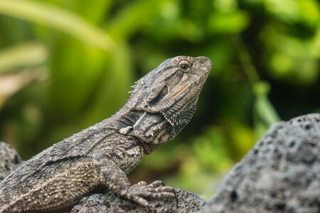 detail of Tuatara lizard Stock Photo