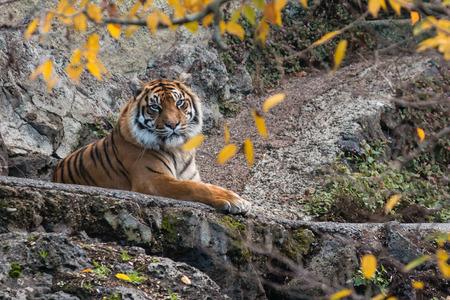 sumatran tiger: Sumatran tiger resting