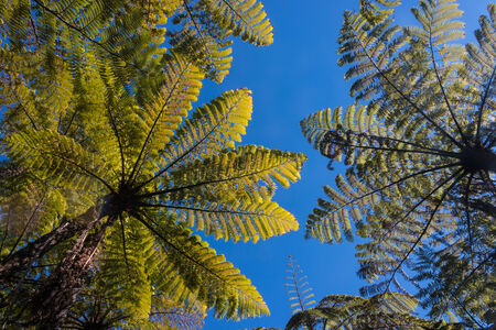 tree ferns against blue sky  photo